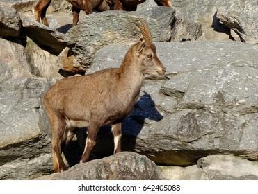 Mountain Goat - Alpine Ibex in National Park on the rock ,Innsbruck, Austria