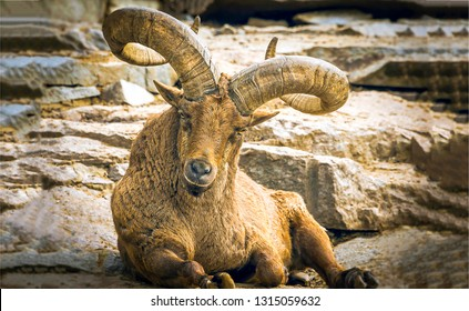 Mountain goat with big horns. Goat with big horns in mountains. Mountain goat portrait. Mountain goat view