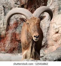 Mountain goat, Capra pyrenaica victoriae