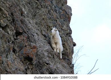 Mountain goat climbing