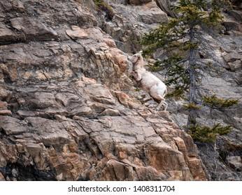 Mountain Goat Climbing a Rocky Cliff