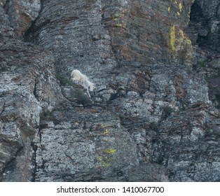 Mountain Goat Climbs Down Rockface in Montana wilderness