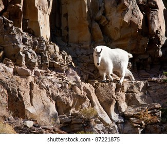 Mountain goat during fall in Yellowstone park