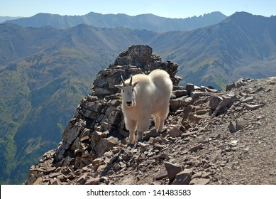 Mountain Goat, Elk Range Colorado Rockies, USA