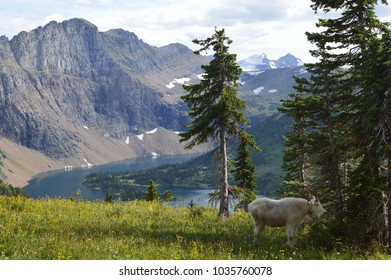 A mountain goat grazing in a meadow in the foreground with a few alpine trees, featuring a mountain scape and lake in the background