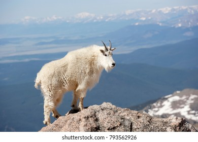 A mountain goat high on a mountain ridge