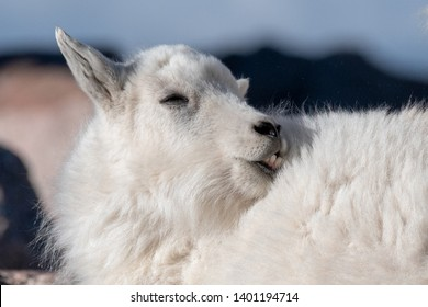 Mountain Goat kid showing some teeth