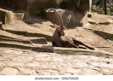 Mountain goat lies on a rock