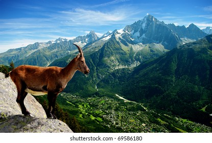 a mountain goat looks at the landscape