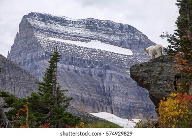 A mountain goat looks out over the scenery from his perch on a cliff at Glacier National Park in Montana.