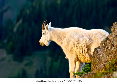 Mountain goat in Olympic National Park, Washington.