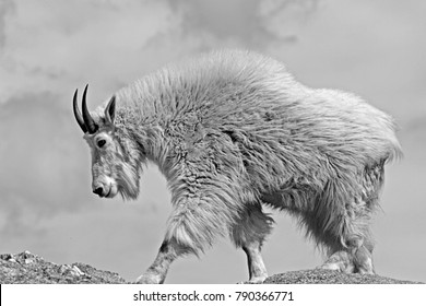 Mountain Goat on Black Elk Peak (Harney Peak) in Custer State Park in the Black Hills South Dakota United States - black and white