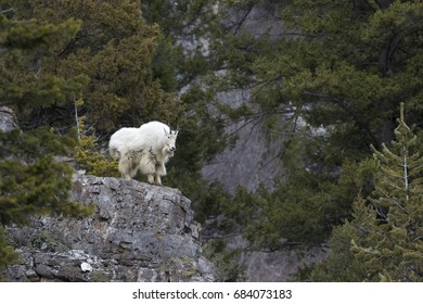 Mountain goat on high  rock ledge