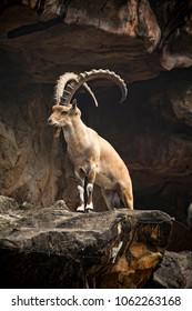 Mountain goat on stones