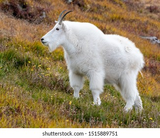 Mountain Goat on the tundra in fall colors. Colorado, USA.