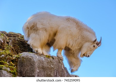 Mountain goat (Oreamnos americanus) climbing down a rocky cliff against a clear blue sky photographed at a zoo. An ear tag was edited out of the image.