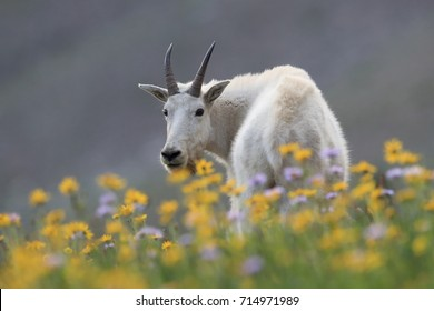 Mountain Goat Oreamnos Americanus Glacier National Park Montana USA