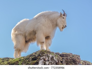 Mountain goat (Oreamnos americanus) standing at the top of a rock against a clear blue sky photographed at a zoo. An ear tag and a small portion of another goat were edited out of the image.