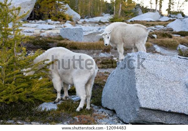 Mountain Goat Pair