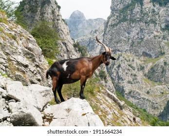 Mountain goat in the Picos de Europa