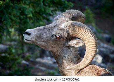 Mountain Goat posing