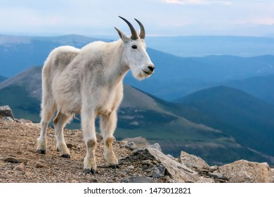 Mountain Goat posing in front of the blue mountains in the evening. Close to sunset. Colorado, USA.