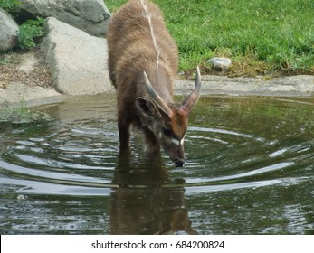 mountain goat in the river
