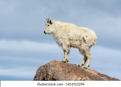 Mountain Goat standing on a rock on Mount Evans, Colorado, USA.
