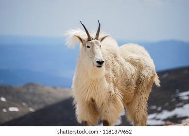 Mountain goat at the summit of Mount Evans in Colorado's Rocky Mountains, United States.