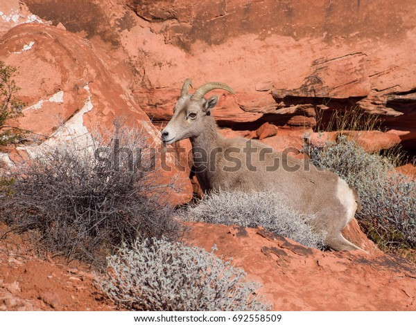 Mountain goat in the Valley of Fire, Nevada