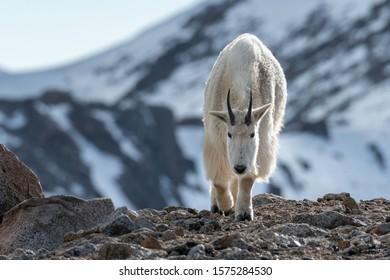 Mountain Goat walking. Snow on mountains in background. Colorado, USA.
