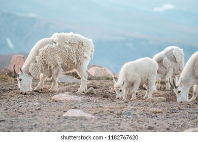 Mountain Goats with a baby, in Wyoming