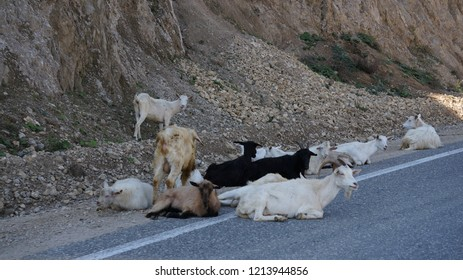 Mountain goats in Chechnya resting on the road