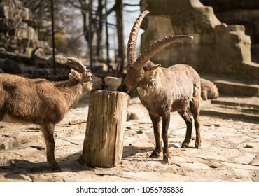 Mountain goats. closeup