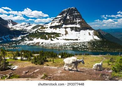 Mountain Goats and hidden lake, Glacier National Park