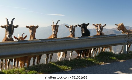 mountain goats in line behind a guard rail