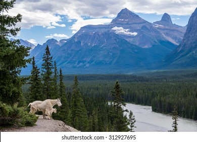Mountain goats look out over the Athabasca River at the Kerkeslin Goat Lick.