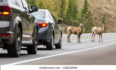 Mountain goats are in the middle of the road at Jasper national park
