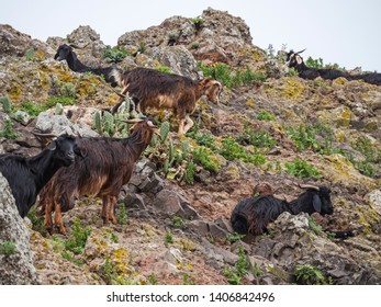 Mountain goats on a hike in the Anaga mountains on Tenerife Island with blue sky