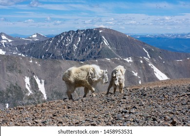 Mountain goats playing on the summit of a 14er in Colorado.