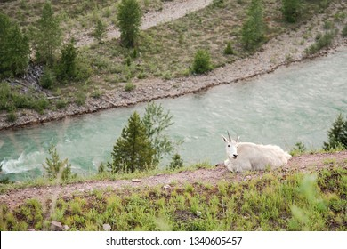 Mountain goats at salt lick, Goat Lick Trail Overlook in Essex, Montana near Glacier National Park Highway 2 along Flathead River