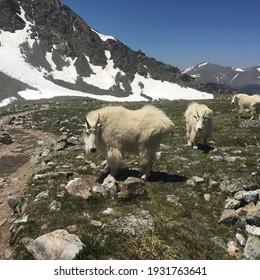 Mountain Goats in the San Juan Mountains