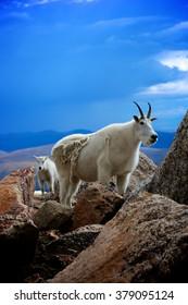 Mountain Goats Vertical Mount Evans Wilderness Colorado