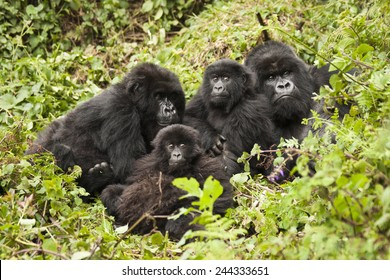Mountain gorilla,  Gorilla beringei beringei, Amahoro group, family group, silverback, female, baby or babies, Volcanoes National Park, Rwanda, East Africa