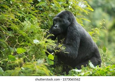 Mountain Gorilla (Gorilla beringei beringei), Bwindi Impenetrable National Park, Uganda
