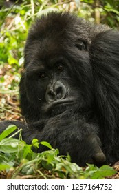 Mountain gorilla, Gorilla beringei beringei, endangered, silverback, Guhonda, Sabyinyo group, Volcanoes National Park, Rwanda