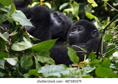 The mountain gorilla (Gorilla beringei beringei), mother with a baby in the green