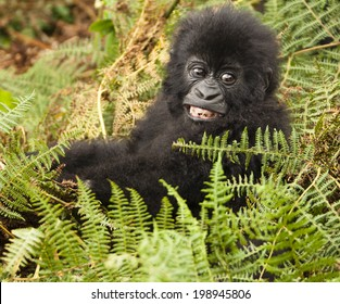 Mountain Gorilla, Gorilla beringei beringei, in its natural habitat in the Rwandan jungle in the Volcanoes National Park, Sabyinyo Group
