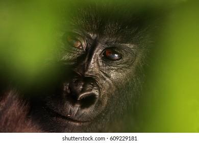 The mountain gorilla (Gorilla beringei beringei), portrait