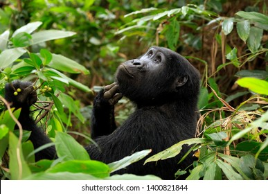 Mountain Gorilla (Gorilla beringei beringei) Scratching Its Chin and Looking Upwards. Bwindi Impenetrable National Park, Uganda
